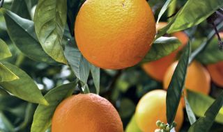 L'orange, la star des agrumes